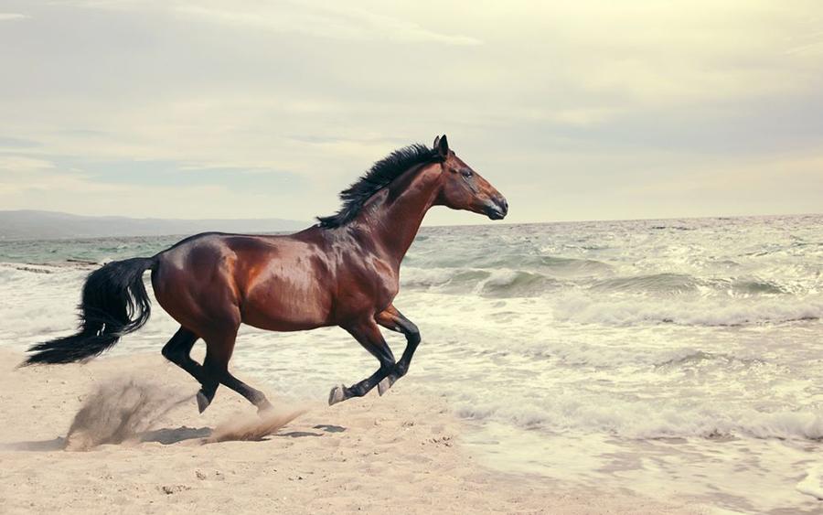 Норийская лошадь